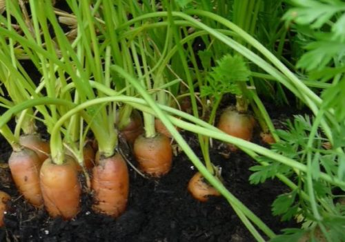 Carrot Gardening Tips | Dig It Up Guide For Nelson New Zealand, Uniquely Nelson And Nelson Advantage
